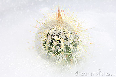 Frozen cactus on ice