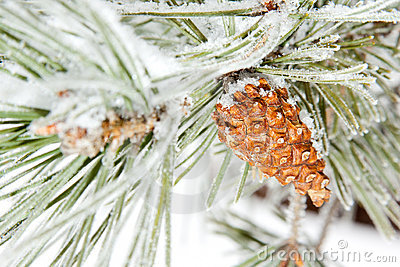 Frozen coniferous pine branch with cone