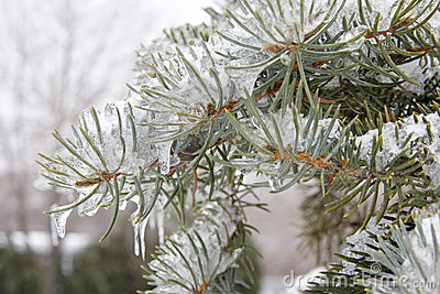 Frozen Evergreen Branch