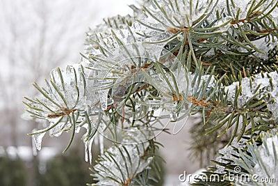 Frozen Evergreen Branch