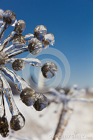 Free Frozen Flowers In Winter Close-up Stock Image - 37211911