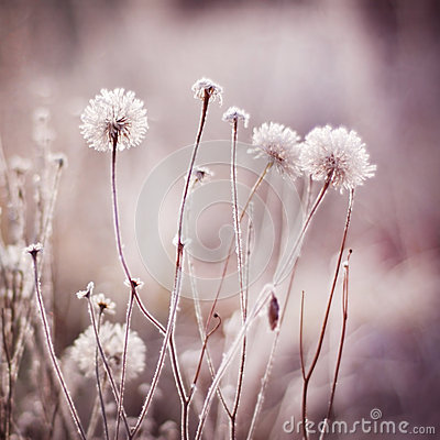 Free Frozen Flowers, Plants. Nature In Winter. Stock Photography - 47339732