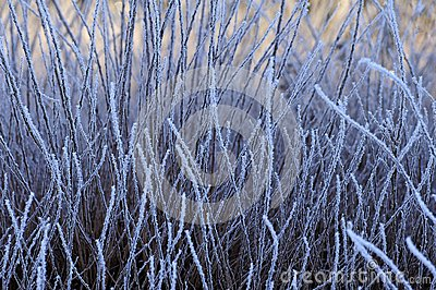 Frozen grasses, winter