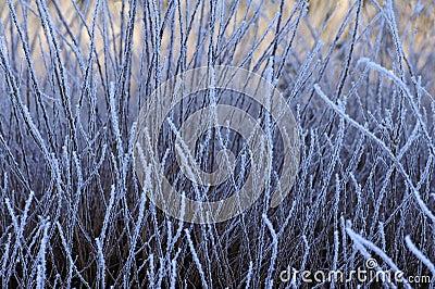 Frozen grasses, winter