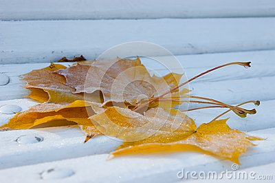 Frozen Maple leafes