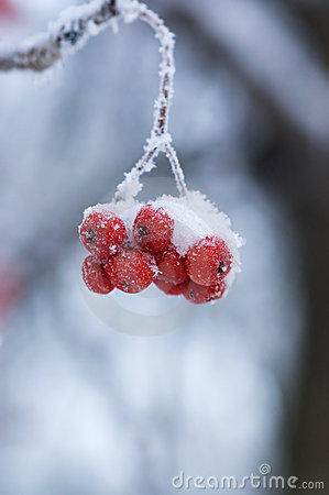 Frozen mountain ash on a branch