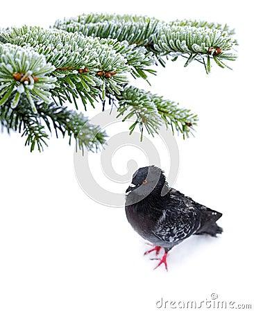 Frozen pigeon