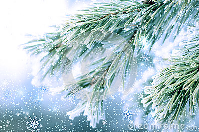 Frozen pine fir
