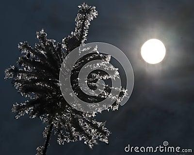 Frozen plant on winter night