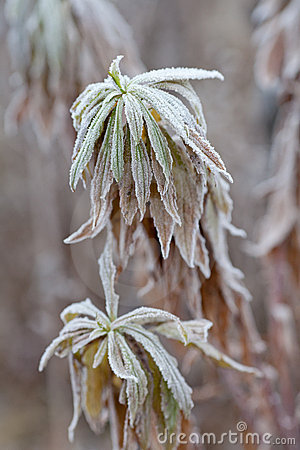 Frozen plants. Frost on leaves.