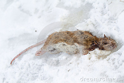 Frozen rat