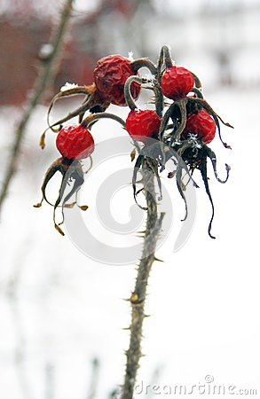 Frozen red berries on snow background