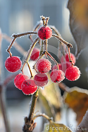Frozen red berry