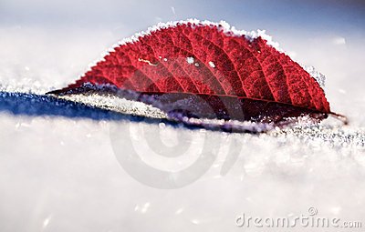 Frozen red leaf in snow