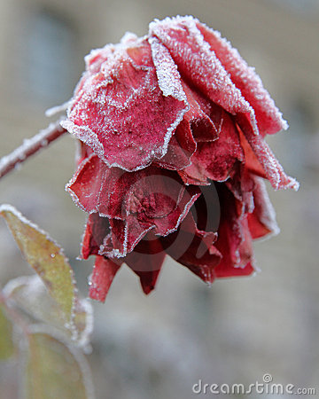 Free Frozen Red Rose Royalty Free Stock Images - 14524839