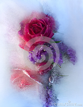 Free Frozen   Red   Rose Flower Royalty Free Stock Photo - 29582245