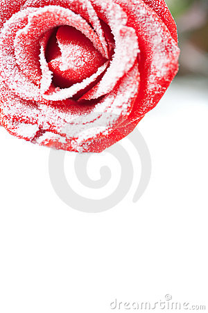 Free Frozen Red Rose In White Frost Stock Images - 12558954