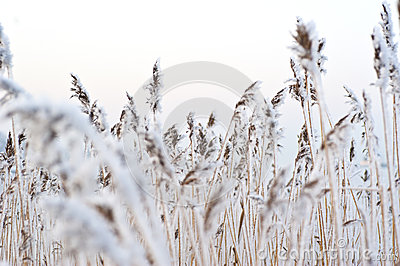 Frozen reed