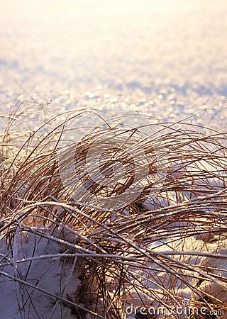 Frozen reeds, winter season concept