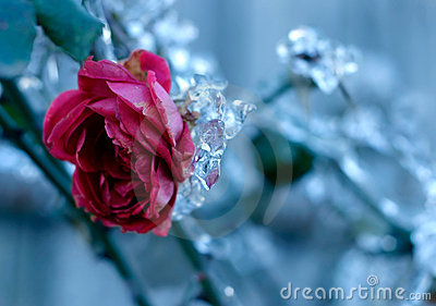 Frozen Rose Stock Photo