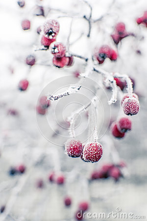 Free Frozen Rosehips Royalty Free Stock Photos - 28294138