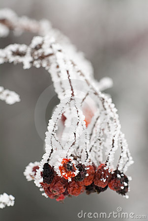 Free Frozen Rosehips Stock Image - 8268961