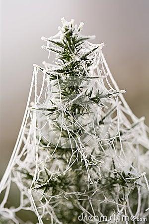 Frozen spiderweb on gorse