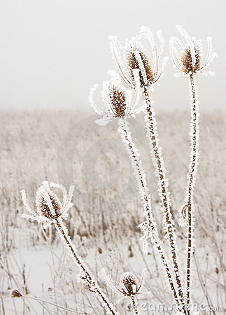Free Frozen Thorns Royalty Free Stock Image - 19425946