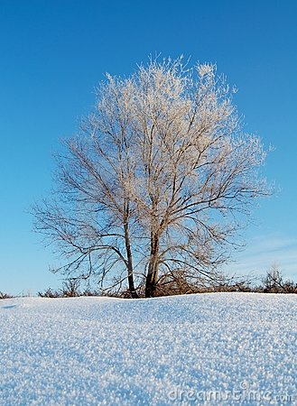 Frozen tree in snowy winter field under blue sky