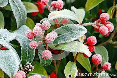Frozen Wild Berries