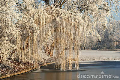 Frozen Willow