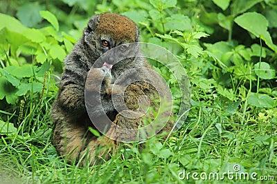 Försiktig lemur för alaotran