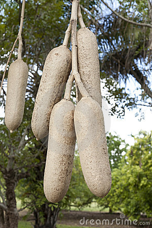 Fruit from the African Sausage Tree