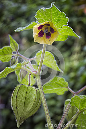 Free Fruit And Flower Of Physalis (Physalis Peruviana) Also Called Ca Royalty Free Stock Photography - 78743657