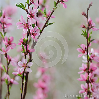 Free Fruit Blossom Bunch Of Peach On Natural Background In Spring Stock Photo - 50459740