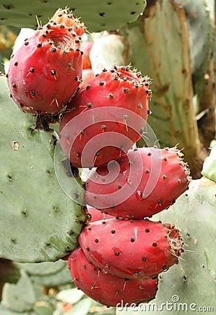 Les fruits comestibles des cactus