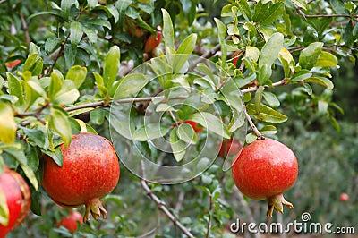 Fruit de grenade images stock image 16853934 - Acheter des grenades fruits ...
