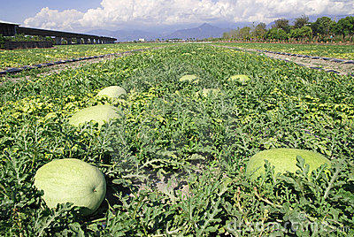 Fruit farm,watermelon .