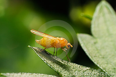Fruit fly Drosophila on the leaf