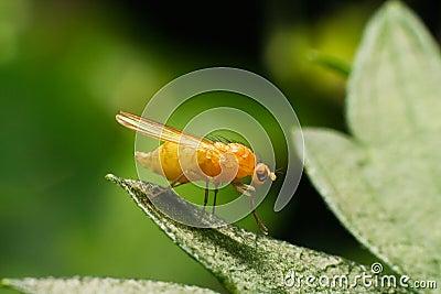 Fruit fly Drosophila on the leaf