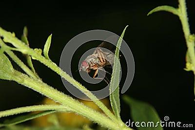 Fruit fly (Drosophilidae)
