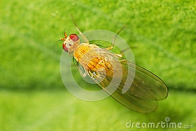 Fruit fly (Drosophilidae)