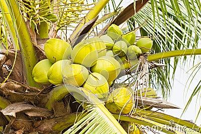 Fruit, green coconut
