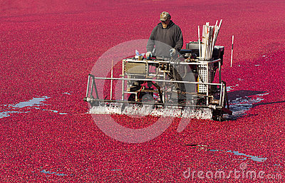 Oregon Farmer Prepares Cranberry Big Fruit Harvest