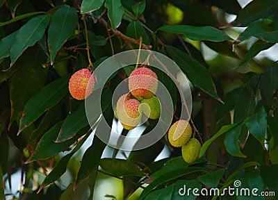 Fruit:litchi