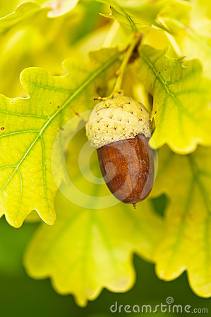 Fruit of an Oak tree ripe in autumn