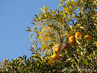 Fruit ripe mandarin orange trees