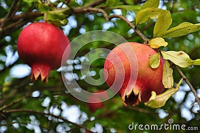Fruit rouge m r de grenade sur une branche d 39 arbre photo - Arbre feuille rouge fruit rouge ...