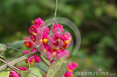 Fruit shrub  euonymus europaeus