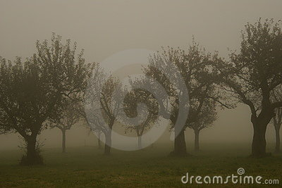Fruit trees in the morning fog